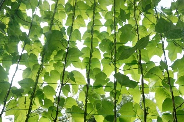 緑のカーテン 夏 涼しい ガーデニング