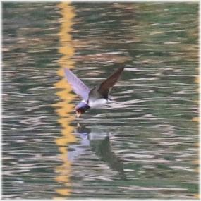 180529E 002ツバメの水上捕食SQ