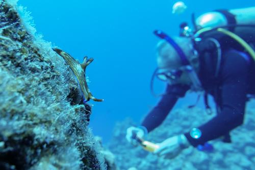 クロスジリュウグウウミウシ 瀬底島