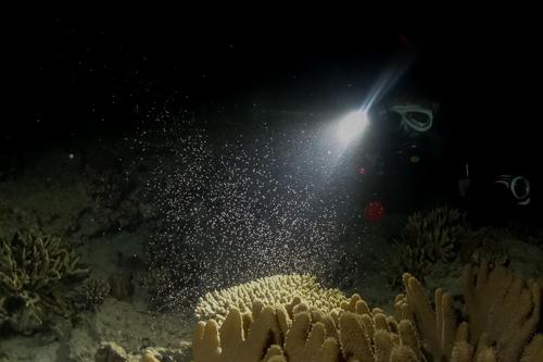 サンゴの産卵 本部町①