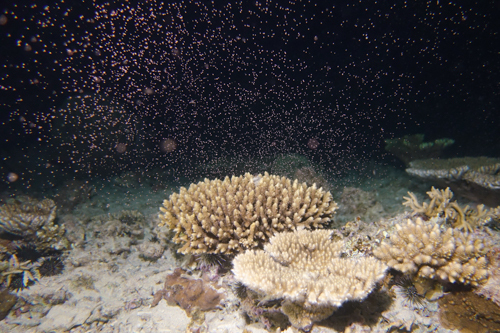 サンゴの産卵 本部町③