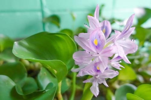ホテアオイの花
