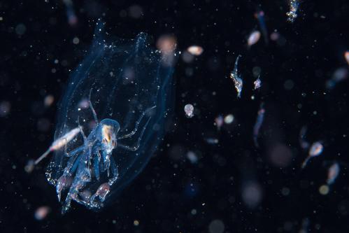 浮遊生物⑪