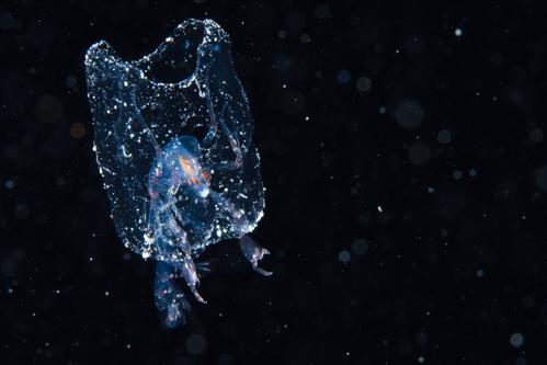 浮遊生物⑫