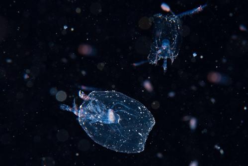 浮遊生物⑬
