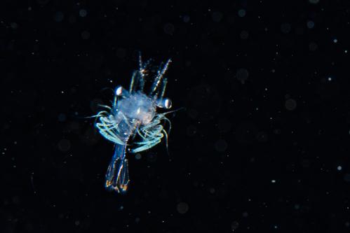 浮遊生物⑮