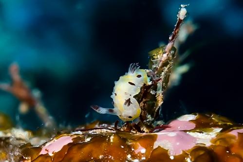 オンナソンウミウシ