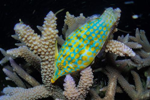サンゴの産卵 2015年-3
