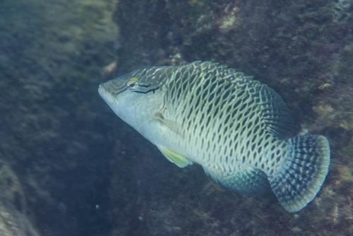 ナポレオンフィッシュ 幼魚