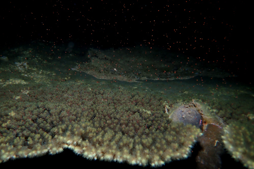 サンゴ産卵 2018 ⑨