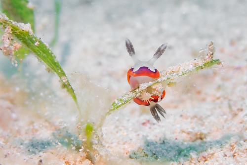 フジナミイロウミウシ