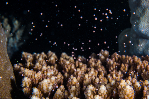 2018 サンゴの産卵③