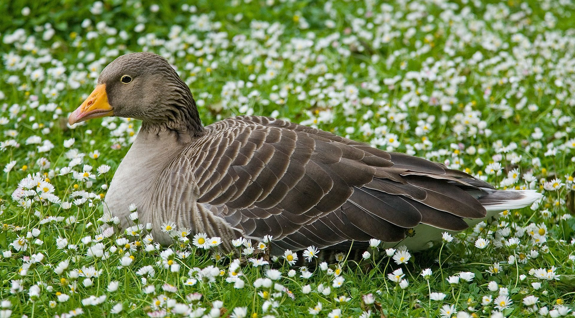 Greylag_Goose_in_St_Jamess_Park,_London_-_May_2006ミシガン州の誠の意味