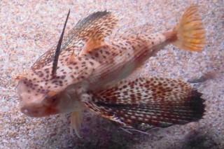セミホウボウ(海卵)
