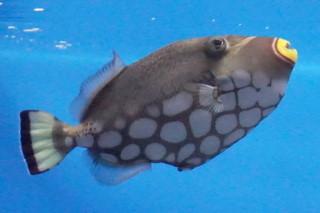 モンガラカワハギ(海卵)