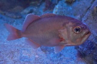 ハシキンメ(海卵)