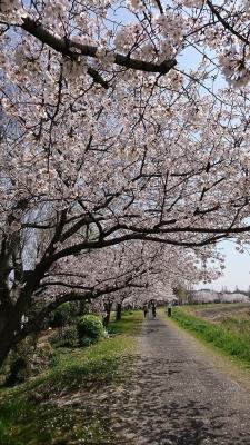 船橋沿いの桜