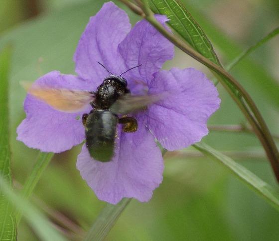 180730ヤナギバルイラソウのハチ-2