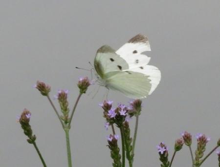 石丸公園赤アジサイ 2018-06-07 055