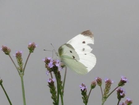 石丸公園赤アジサイ 2018-06-07 054