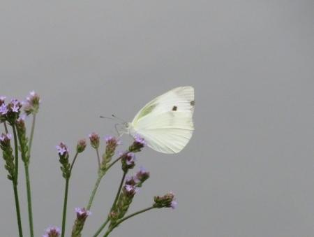 石丸公園赤アジサイ 2018-06-07 053