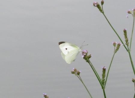 石丸公園赤アジサイ 2018-06-07 060