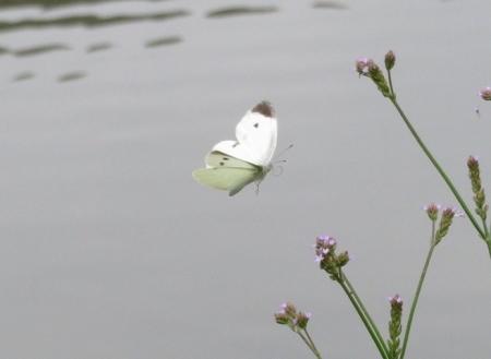 石丸公園赤アジサイ 2018-06-07 062