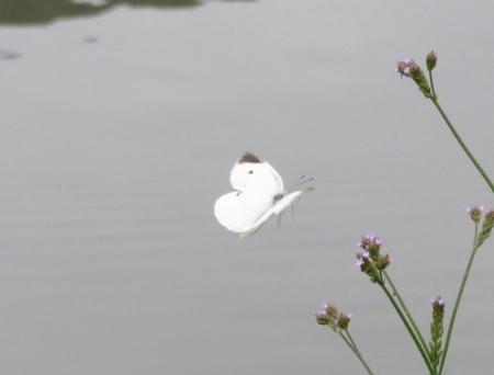 石丸公園赤アジサイ 2018-06-07 059