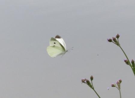 石丸公園赤アジサイ 2018-06-07 073