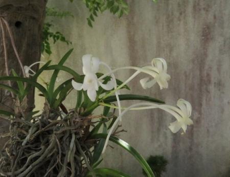 白い花玄関 2018-07-04 001