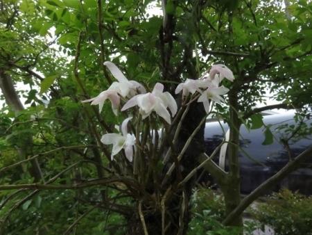セッコクの花その2201804142047272c1s