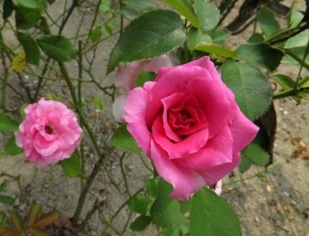 御花トンボ薔薇 2018-07-17 054