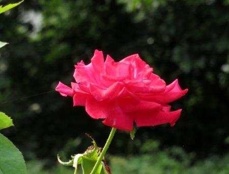 御花トンボ薔薇 2018-07-17 040