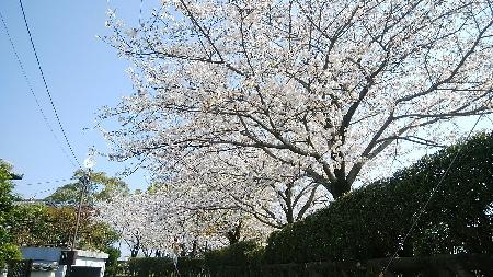 一本桜公園1
