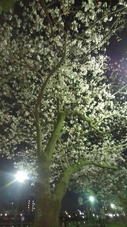 甲突川 夜桜1