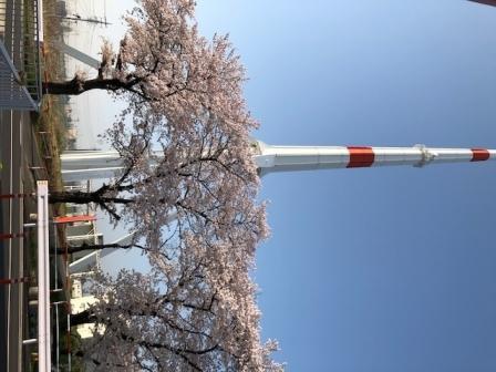 さいたま桜