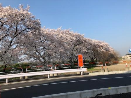 さいたま桜2