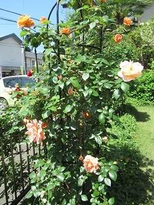 我が家の薔薇1