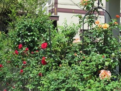 我が家の薔薇2