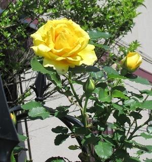 我が家の薔薇3