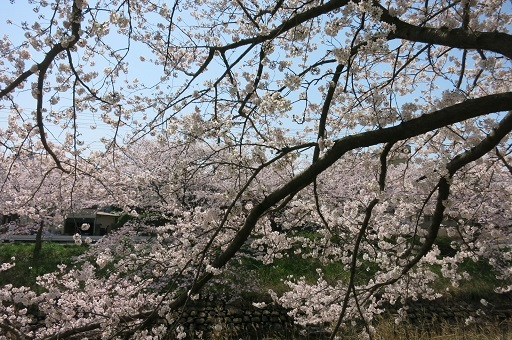 3-29矢桜景色