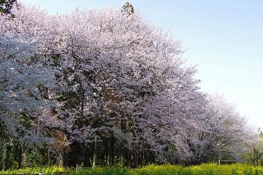 3-29い桜