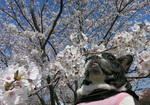 3-28南ふると桜