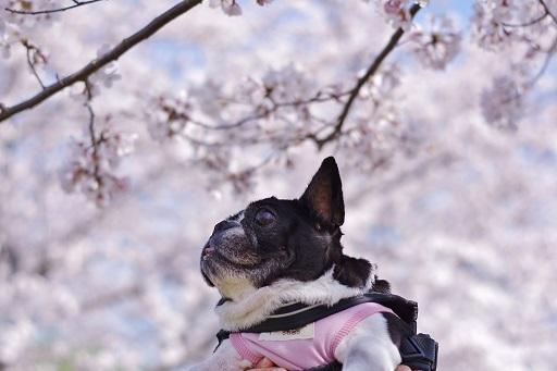 3-28ふる桜