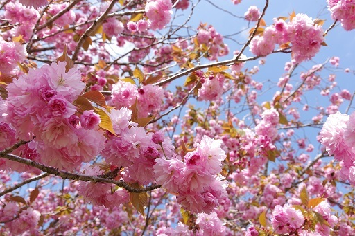 4-10八重桜2