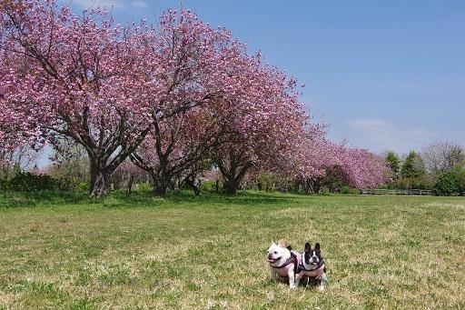4-10桜並木
