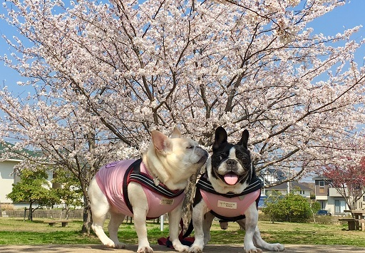 4-10桜ちゅう