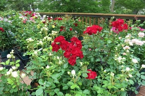 4-27薔薇
