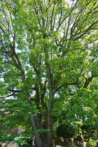 6-1奈大安時樹木