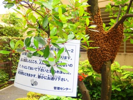 蜜蜂の分蜂